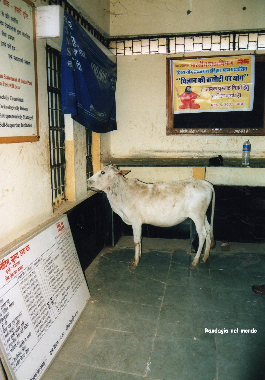bundi, cow at post office 1