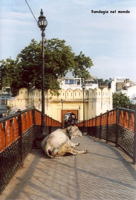 udaipur, cow in the middle of pedestrian bridge