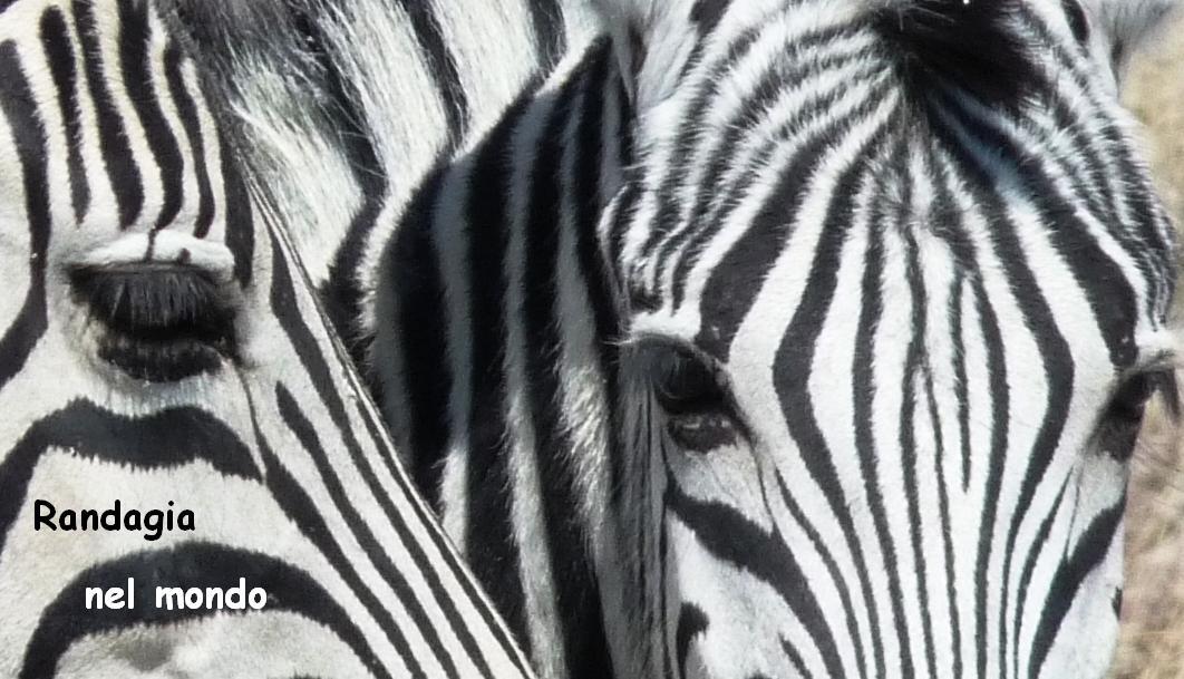 zebra_gaze_2